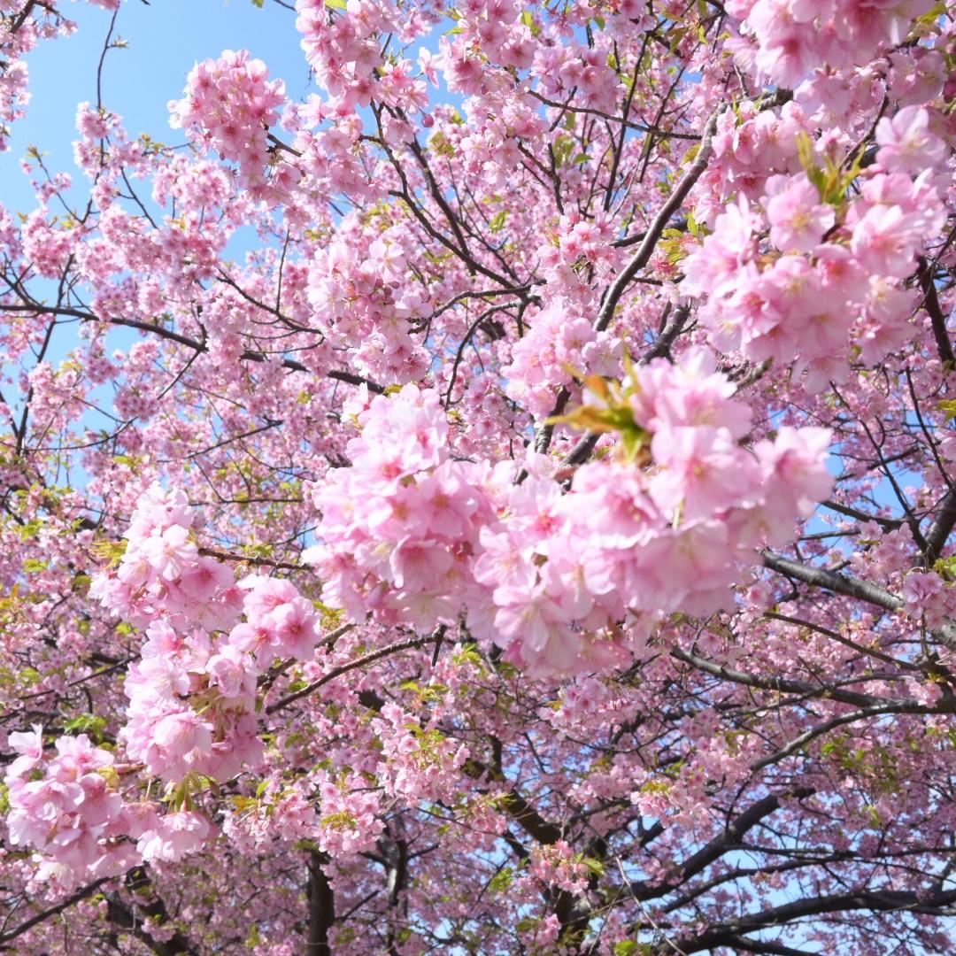 三浦海岸桜まつりに行ってきました